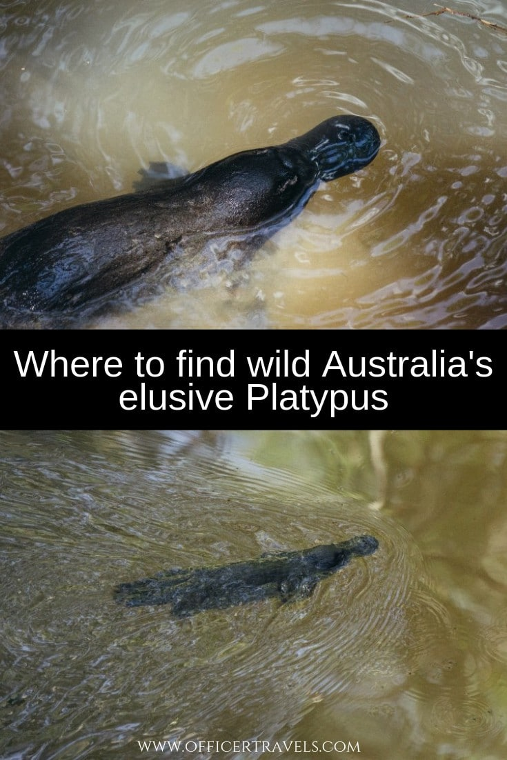 We were lucky enough to find the elusive Platypus while exploring Far North Queensland. Find out where and how you can find wildl Platypus with our latest guide!   How to find Platypus, Where to find wildlife in Australia, Australia's unique wildlife   #wildlifeAustralia #widllife #australiatravel #seeAustralia #wild #platypus #rareanimals #cutewildlife  