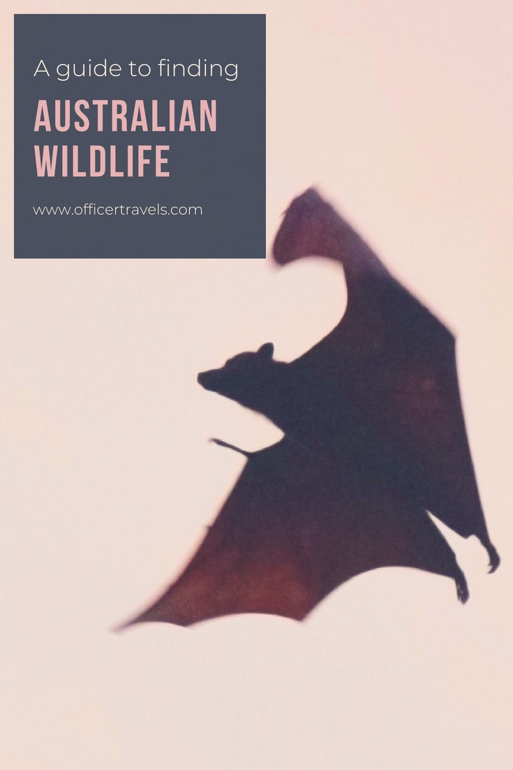 Where to find Australian wildlife | Are you looking for Australias most unique wildlife? Would you prefer to see them in the wild? We've put together this epic guide to help you see Australias native animals in the wild. Whether it's Koalas, Dingos or even tree Kangaroos, we know just the place to find them! | #Australia #wildlife #discoverwildlife #nswtips #ethicaltourism #animals #koala #thingstodoinaustralia