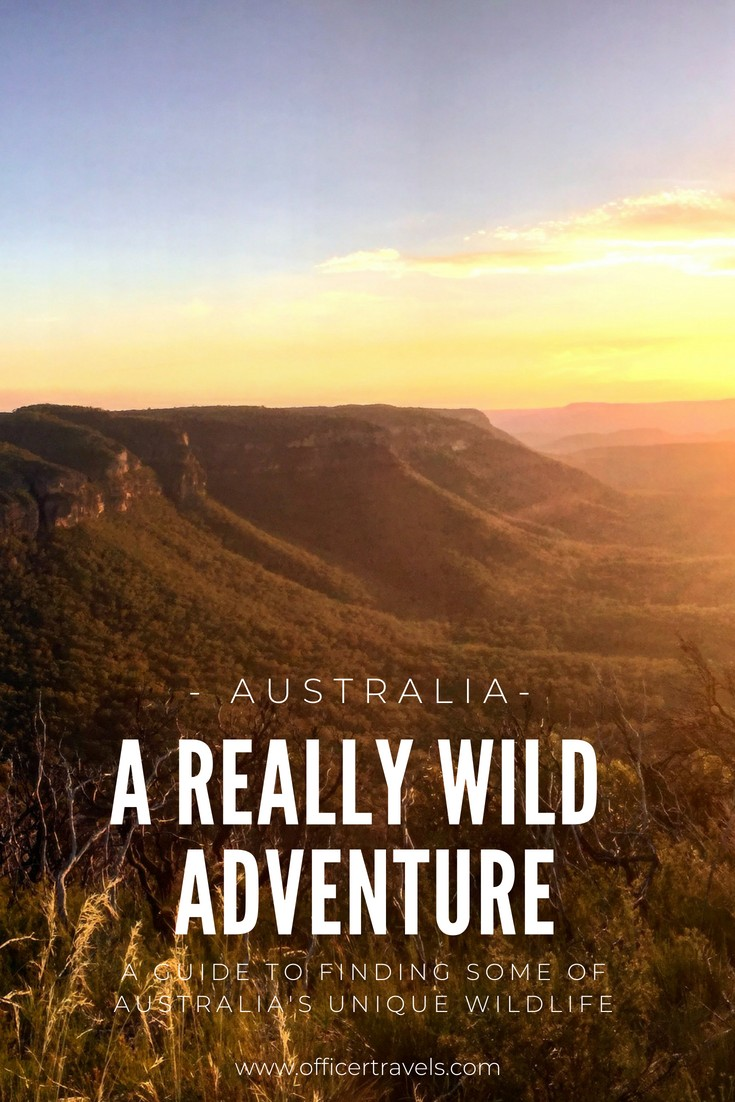 Are you looking for Australias most unique wildlife? Would you prefer to see them in the wild? We've put together this epic guide to help you see Australias native animals in the wild. Whether it's Koalas, Dingos or even tree Kangaroos, we know just the place to find them! | #Australia #wildlife #discoverwildlife #nswtips #ethicaltourism #animals #koala #thingstodoinaustralia