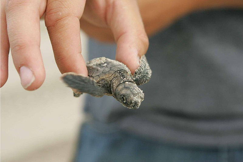 an image of a baby turtle just hatched from it shell. You could see these too while working with wild turtles in mexico