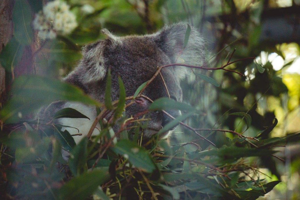 a visit to Port Macquarie Koala Hospital