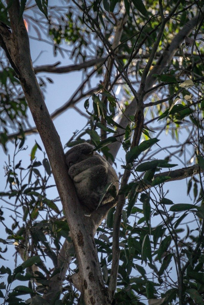 a Koala in a tree at Port Macquaries Koala Hospital