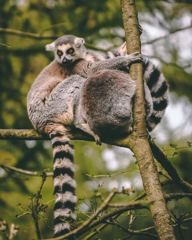 Lemas snuggled in the tree at Australia Zoo | | #Australia #Zoo #wildlife #ethicaltourism #conservation #australianwildlife #thingstodoinAustralia