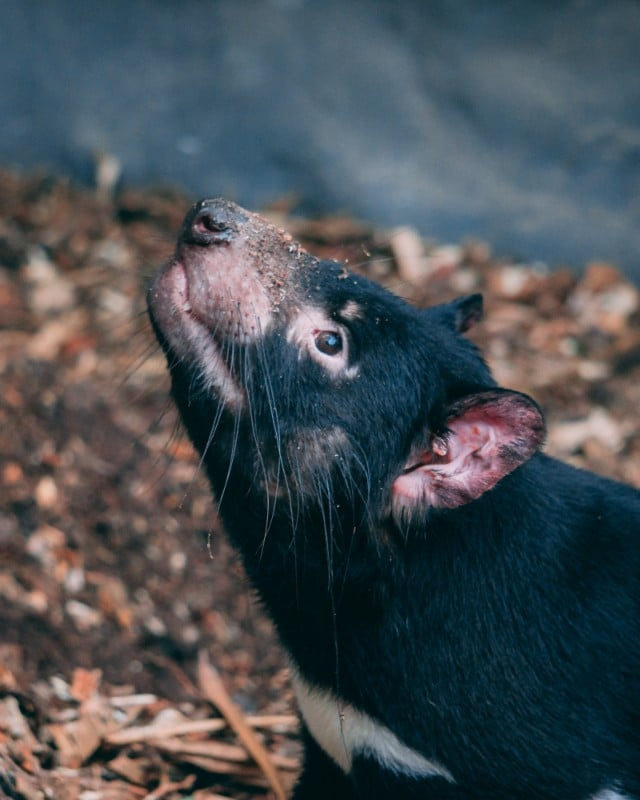 Aren't Tasmanian Devils cute! With the two days at Australia Zoo there's plenty of time to see everything! Read more in this post! | #AustraliaZoo #Australia #queensland