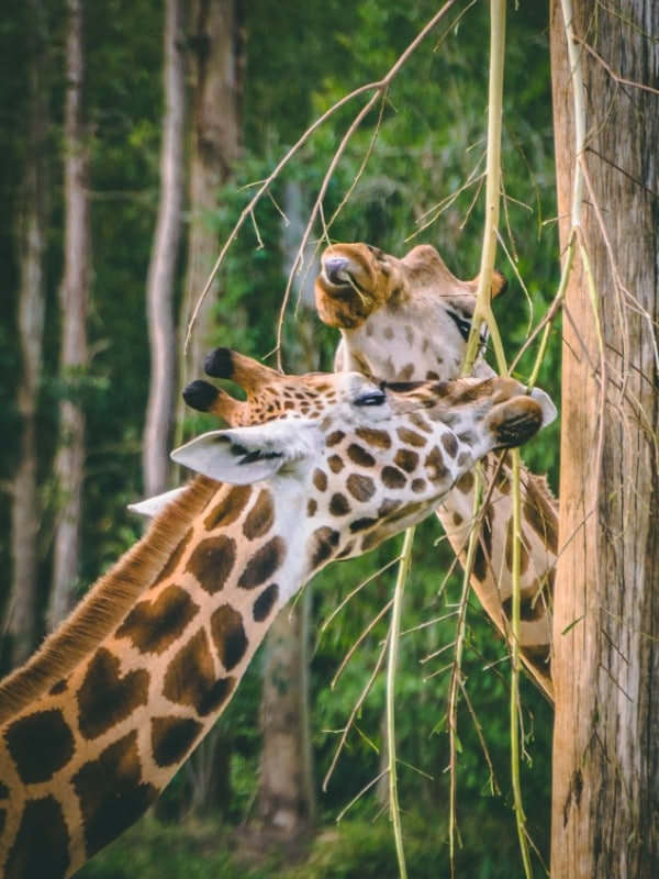 Here are 30+ reasons why you need two days at Australia Zoo to really experience it properly | #visitaustralia #australiawildlife #travel #wildlife #animals #ethicalzoo