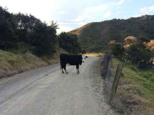 A cow stood in the middle of the road, blocking the way
