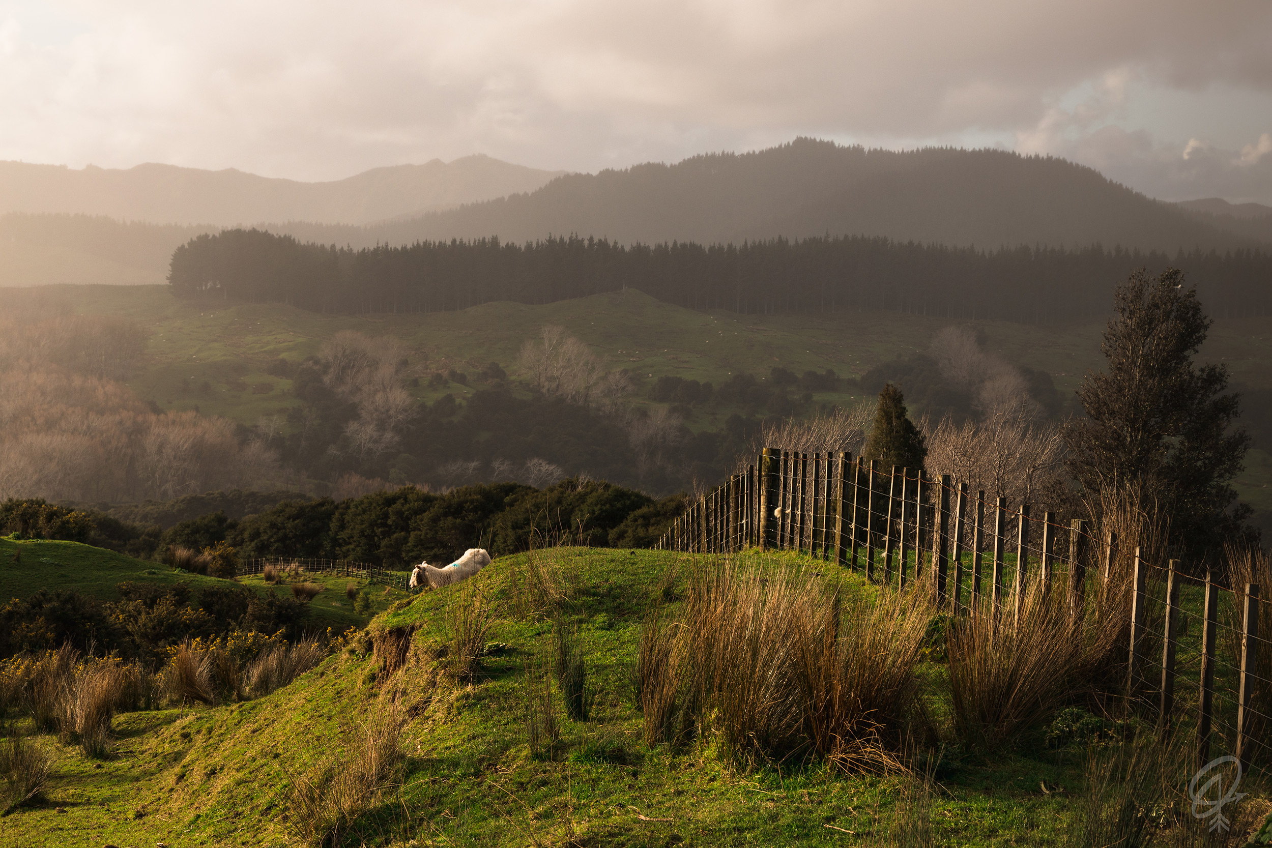 sheep on rolling hillside - North Island hikes