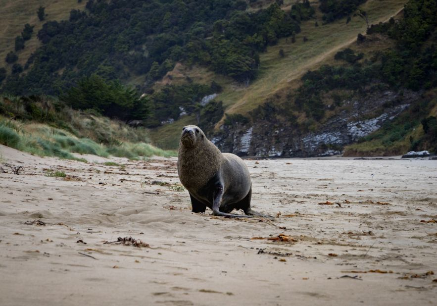 Sea Lions on your road trip through the Catlins