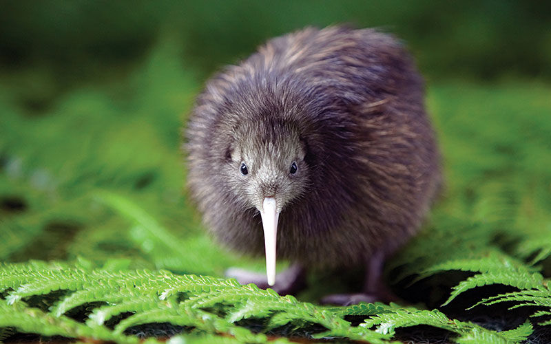 Finding Kiwi is just one of the unique things to do in Hokitika