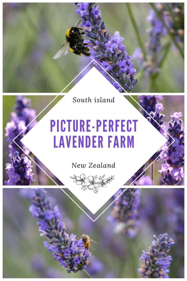 Pinterest image for Wanaka Lavender Farm