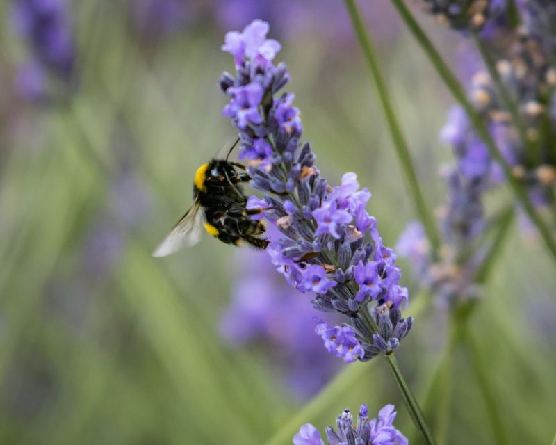 Bumble Bee at Wanaka Lavender Farm