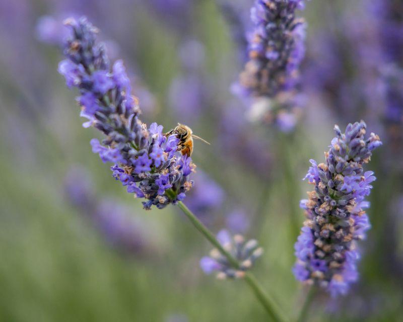 Honey Bee at Wanaka Lavender Farm