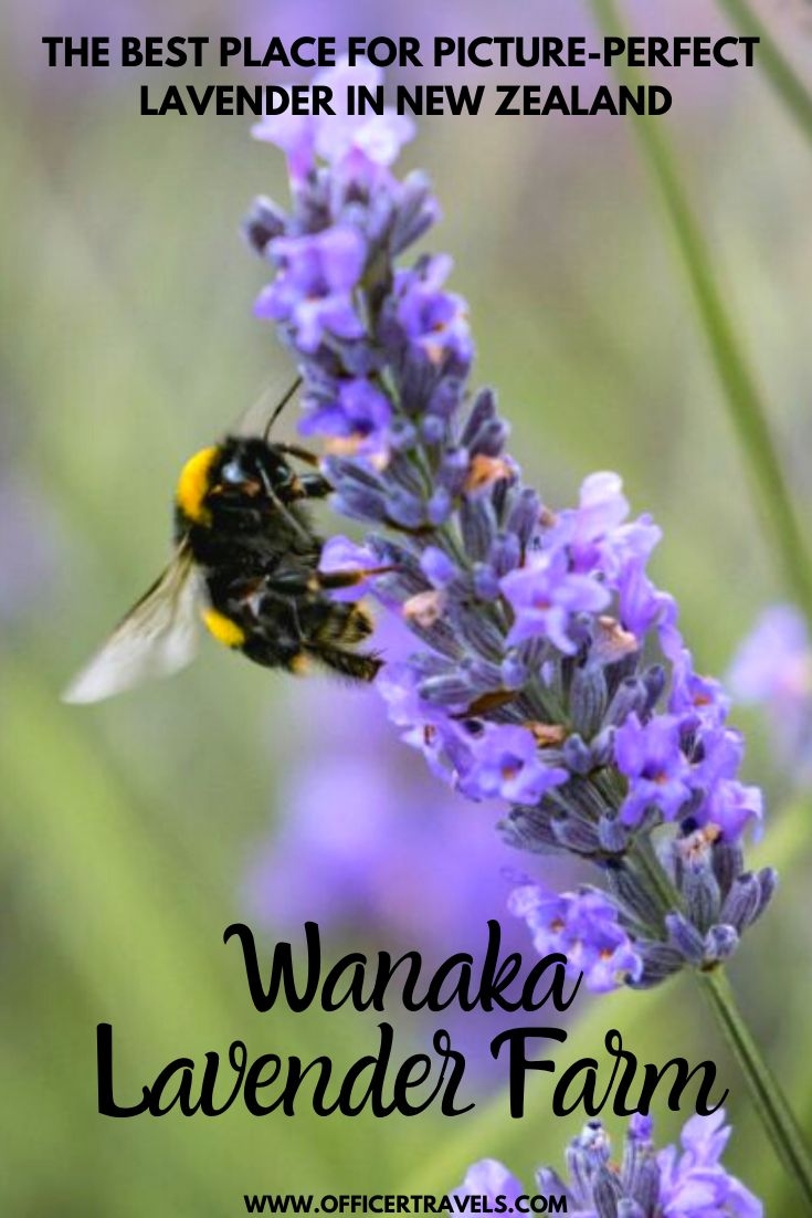 Pinterest image for Wanaka Lavender Farm