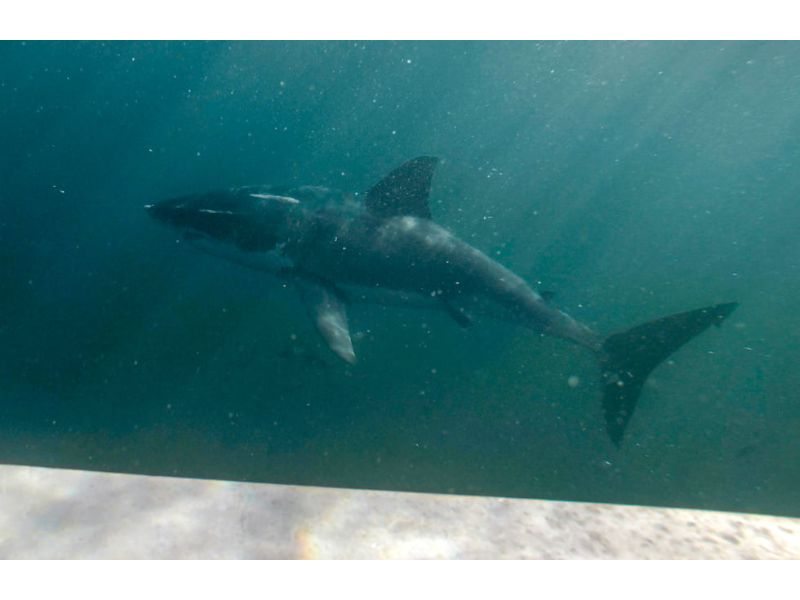 Photo of a shark from a tour, diving with great white sharks in New Zealand